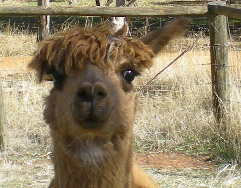 alpaca eartha